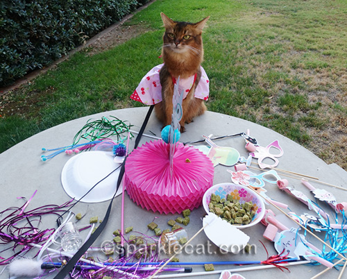 somali cat wonders who is responsible for this mess
