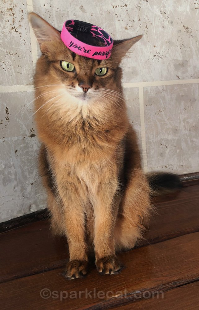 Somali cat wearing purrfect wristband on head, crookedly