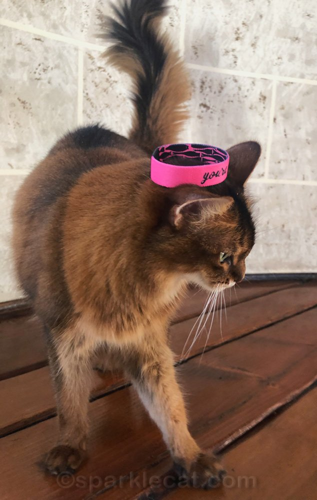 somali cat walking off with wristband on her head