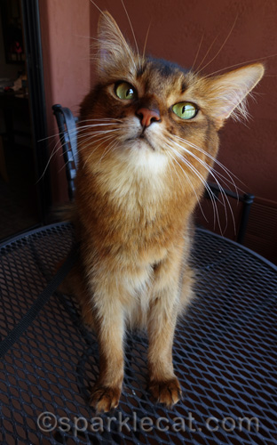 somali cat on table of hotel room balcony in Arizona