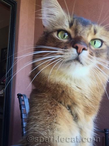 somali cat sets camera up for selfies