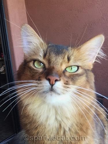 somali cat squinting at the camera