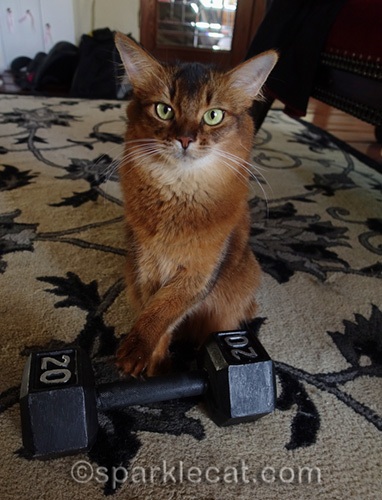 somali cat working as an exercise coach