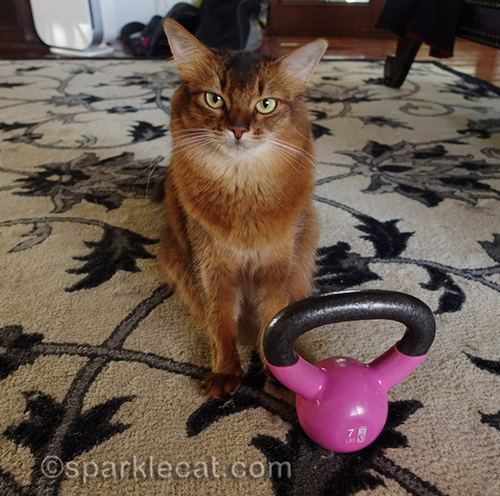 somali cat posing with kettle bell
