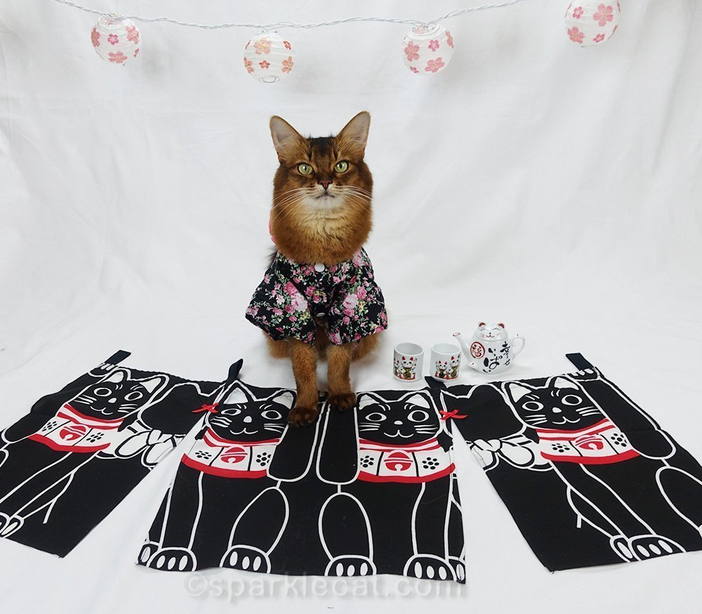 somali cat posing in kimono with Maneki Neko setting