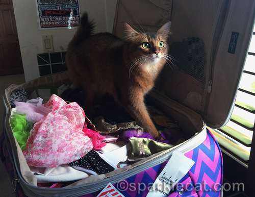 somali cat in suitcase as it is being unpacked