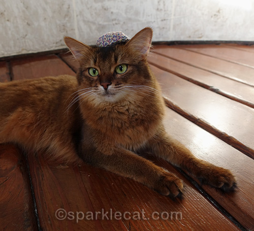 somali cat wearing yarmulke