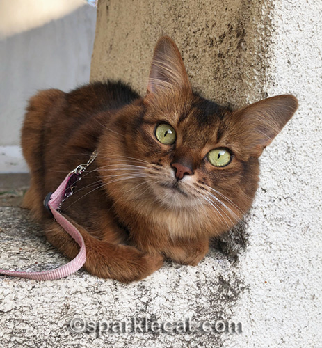 somali cat curled up on stucco ledge