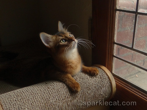 somali kitten by leaded glass door