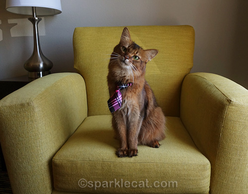 somali cat wearing tie and posing