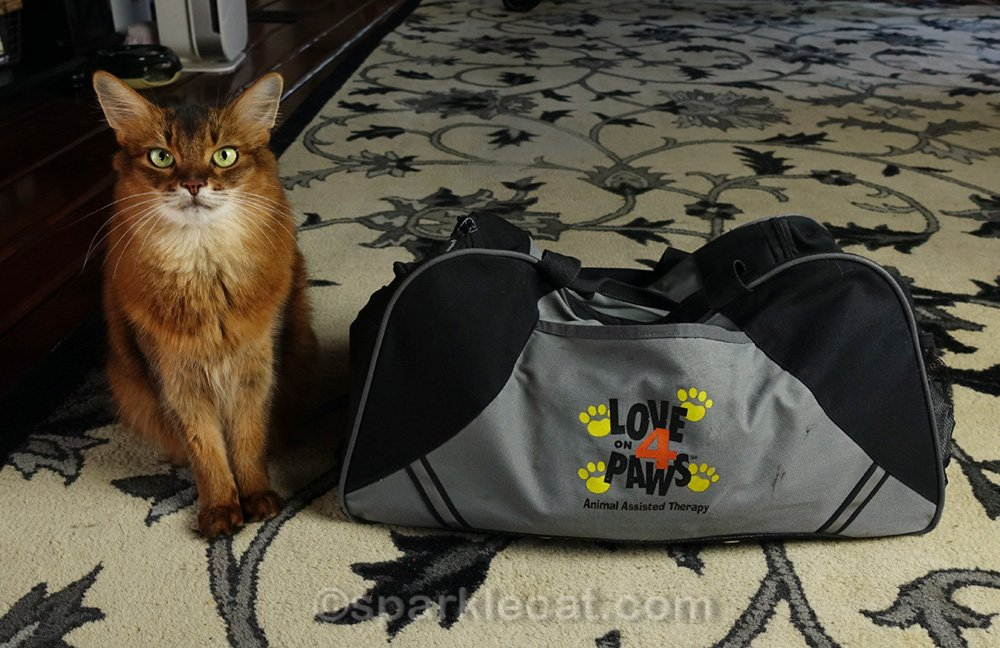 The hospitals where Summer does therapy cat work are allowing visits again, so she needs to make sure she is prepared.