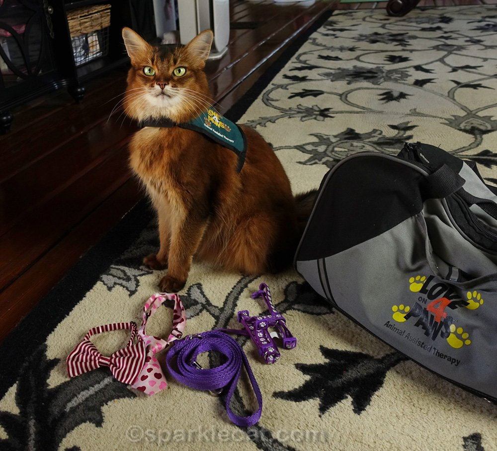 Somali cat in therapy cat vest, with neckwear and leash and harness