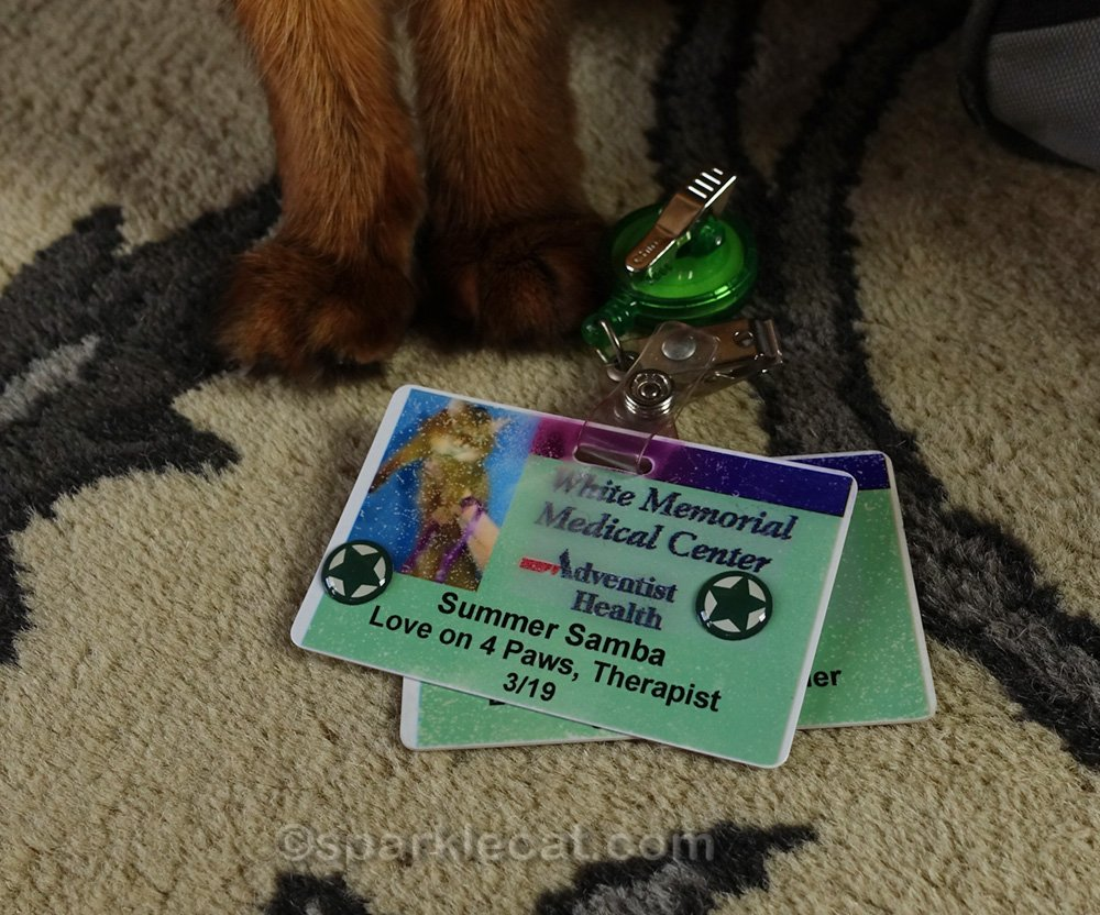 somali cat with therapy cat badge