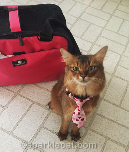 somali cat after her latest therapy cat visit