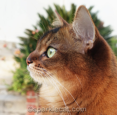 somali cat profile