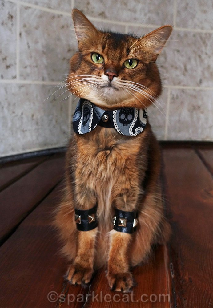 somali cat wearing day of the dead peter pan collar and metal arm bands