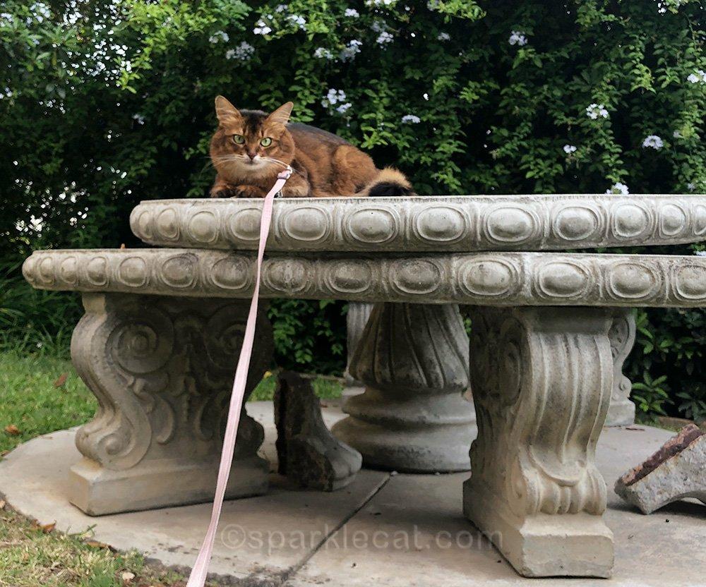 somali cat on leash on broken table
