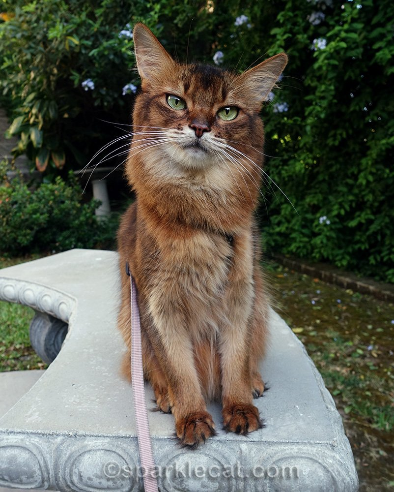 somali cat on concrete bench
