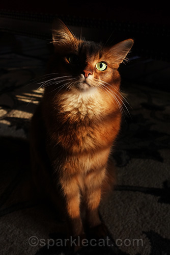 somali cat with stripey shadows from shutters