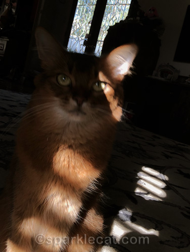 somali cat with failed stripey selfie