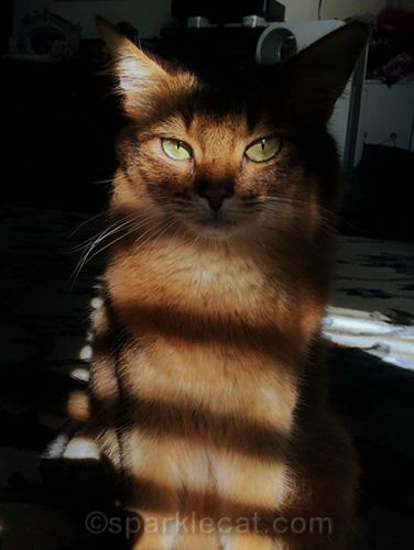 somali cat trying stripey selfies