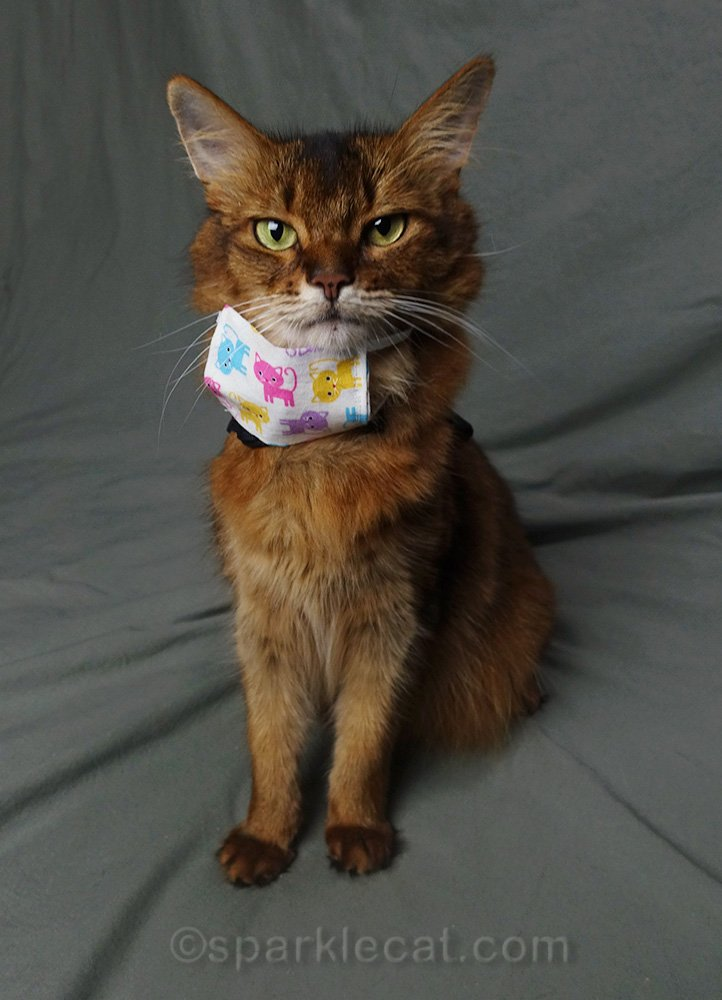 somali cat with mask around her neck