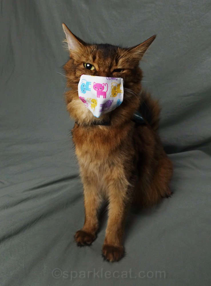 somali cat not happy with mask