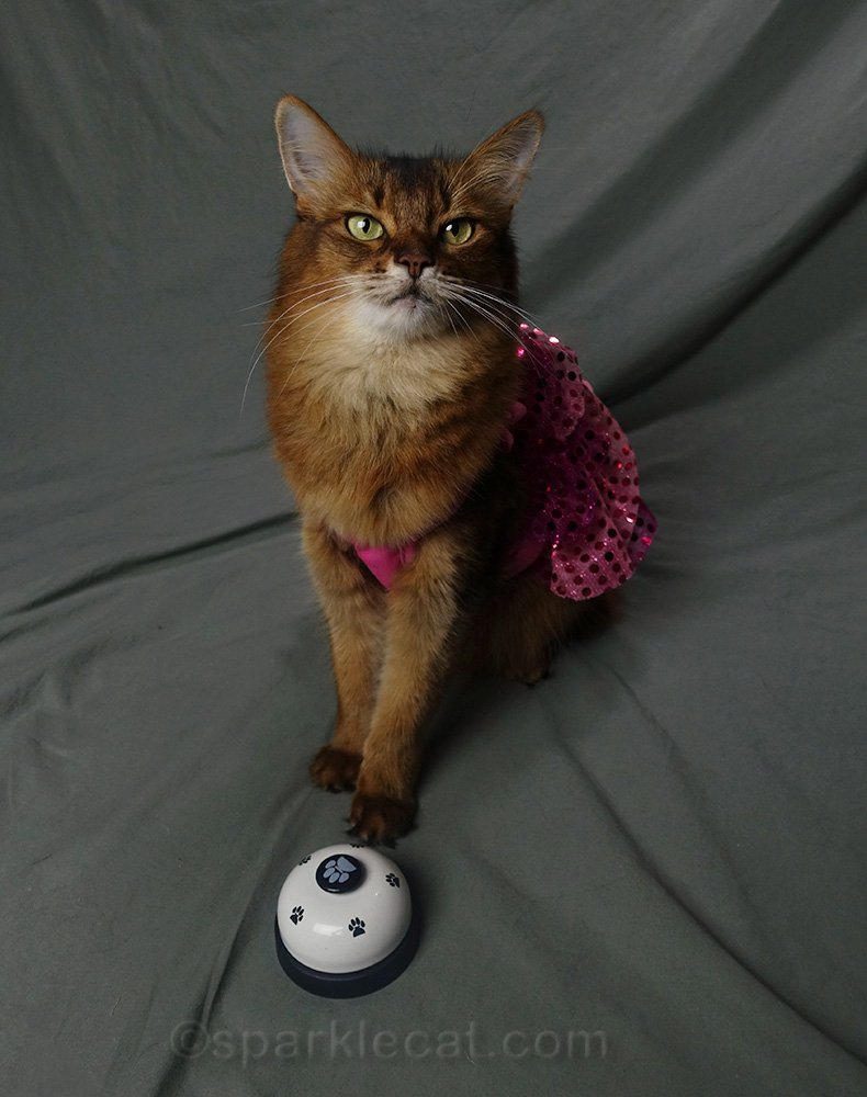 Somali cat in dress with treat bell