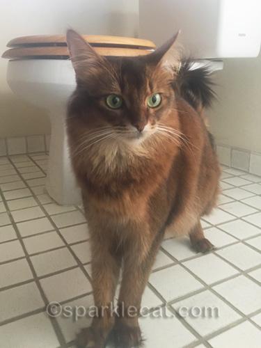 impatient somali cat in bathroom