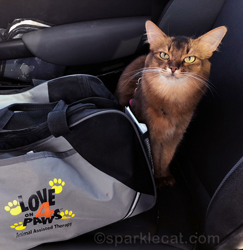 somali cat getting ready for her therapy cat visit