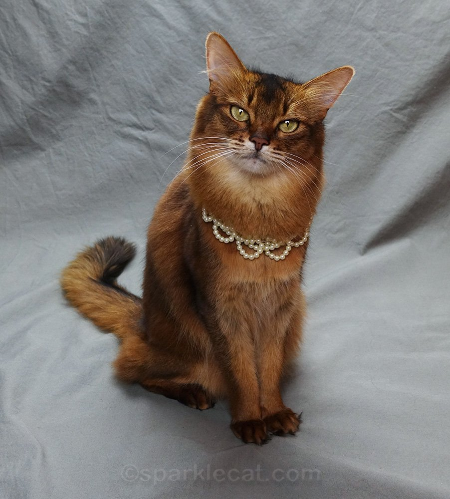 Somali cat announces her meet and greet appearance at Meow MeetUp 2019 in Chicago