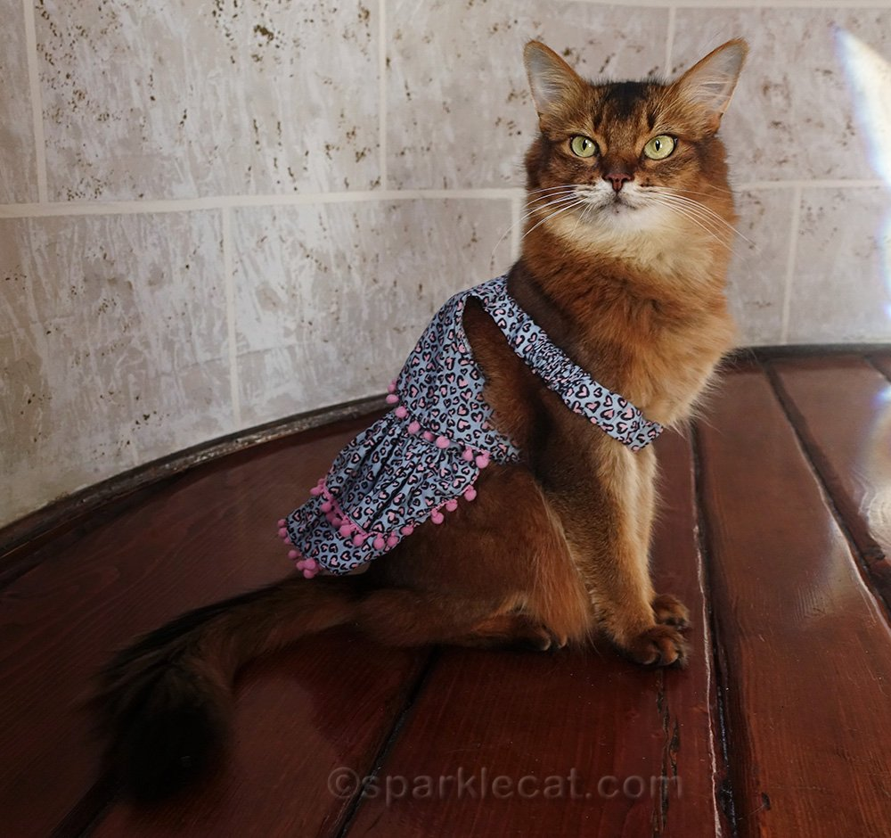somali cat wearing less-than-exciting dress with pink pom-poms