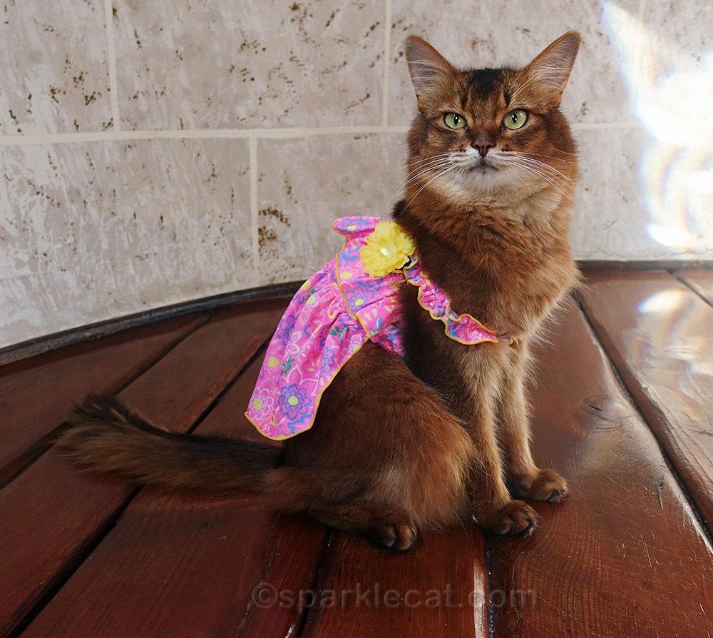 somali cat in cute pink dress