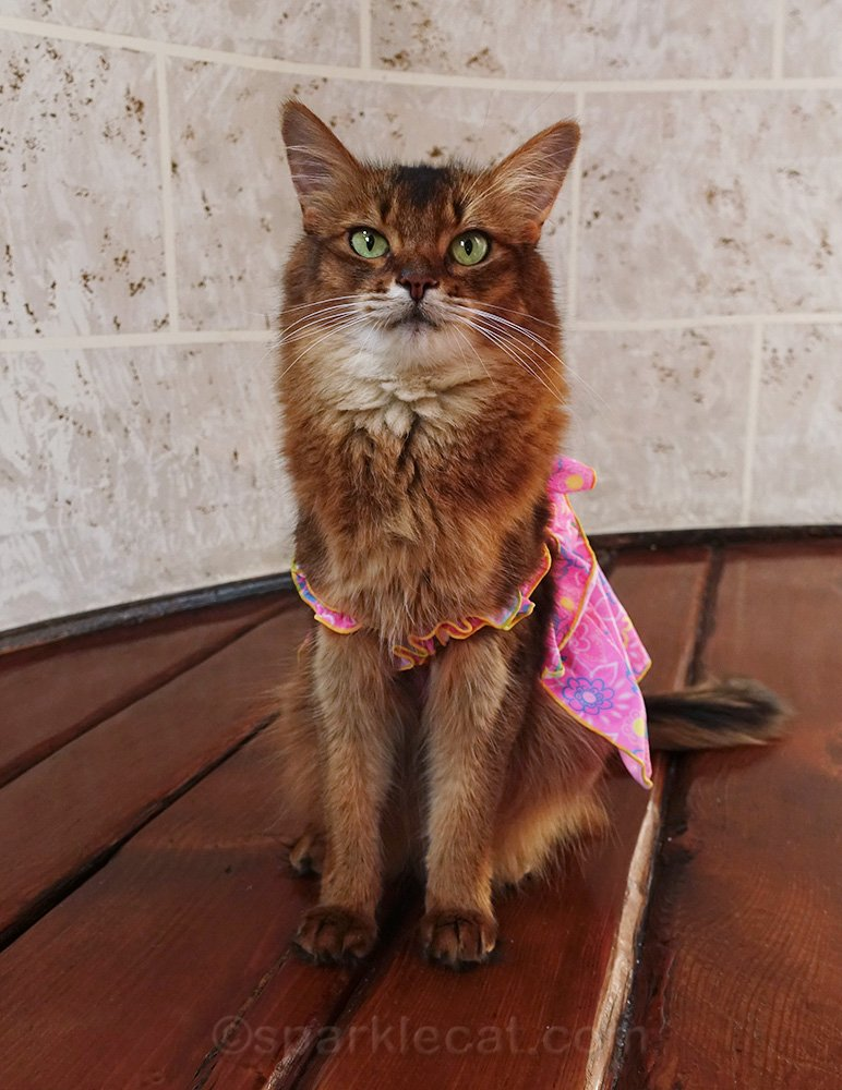 somali cat disappointed at Ross haul