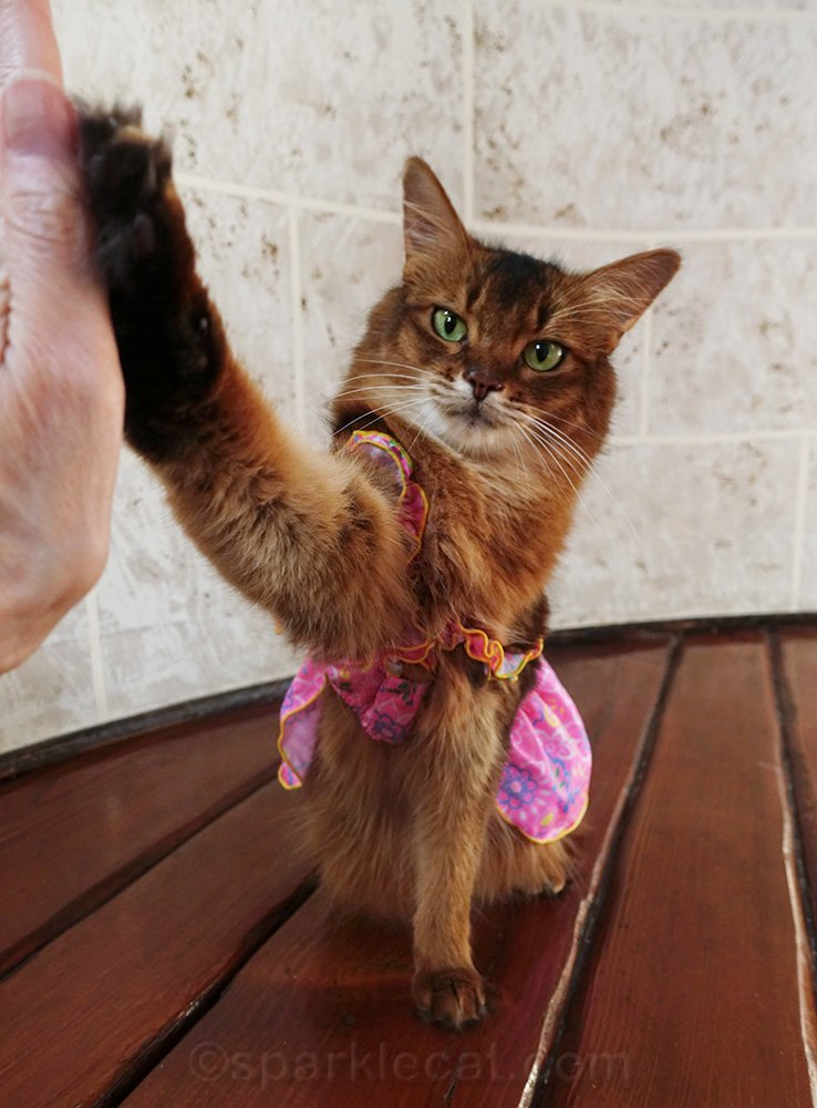 somali cat in dress giving high five