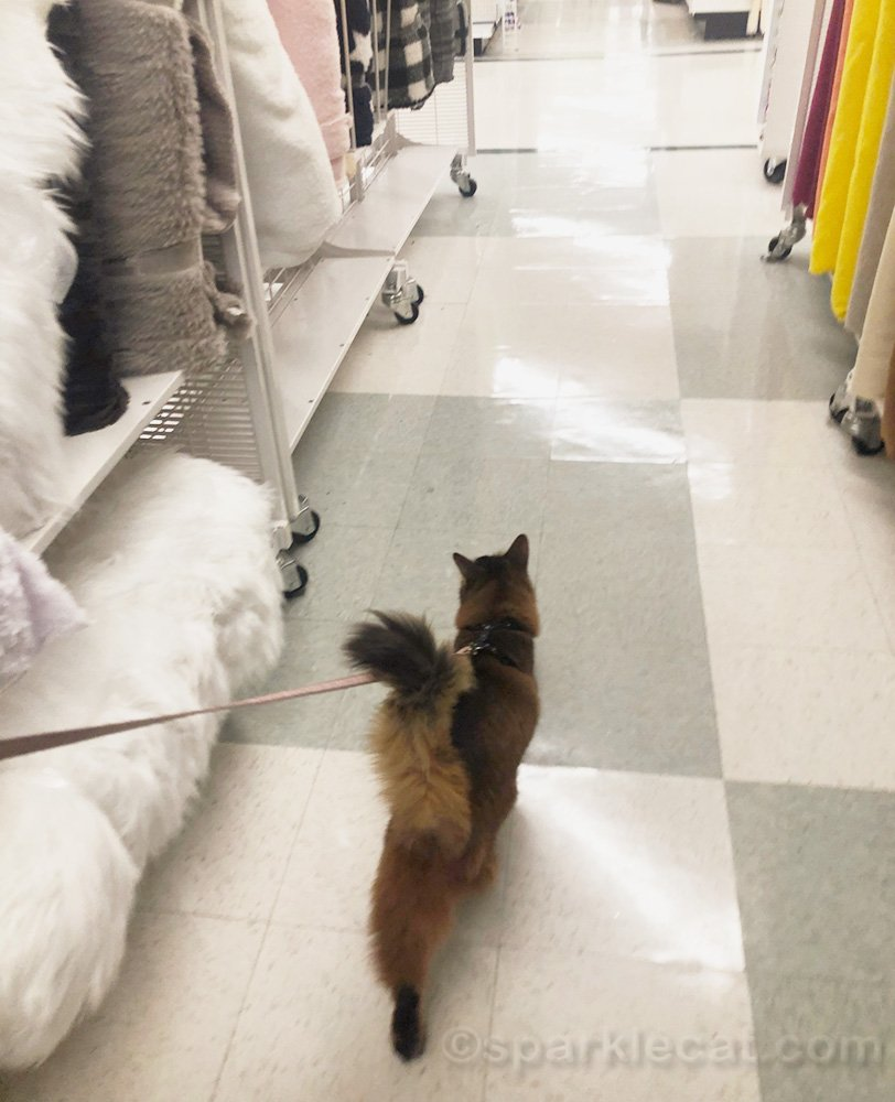 somali cat walking down aisle of store