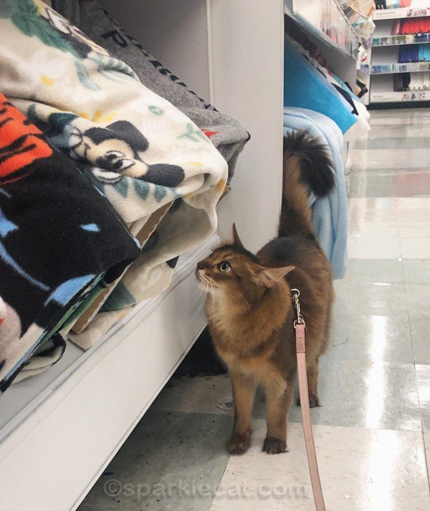 somali cat looking at fabrics