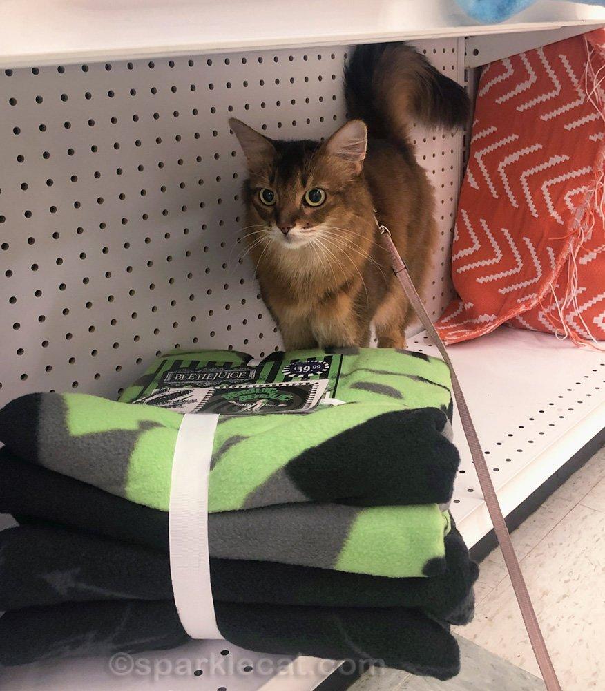 somali cat looking at blanket at joann