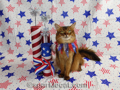 somali cat posing for fourth of july photo