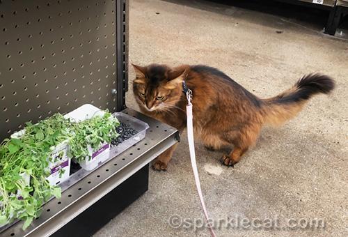 somali cat looking at limp nip plants at pet store