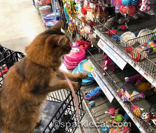 somali cat looking at cat toys