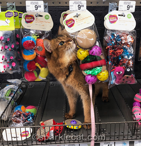 somali cat excited by cat toys on display