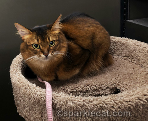 somali cat does not want to be moved from cat tree at pet store