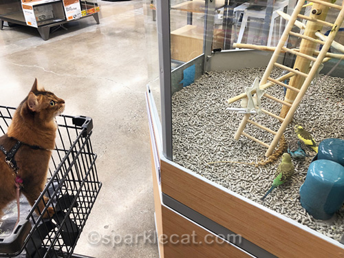 somali cat looking at parakeets on display