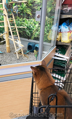 somali cat fascinated by parakeets