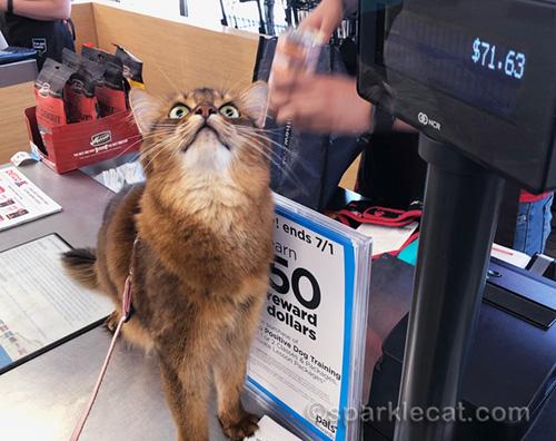 somali cat not looking at sales total at checkout