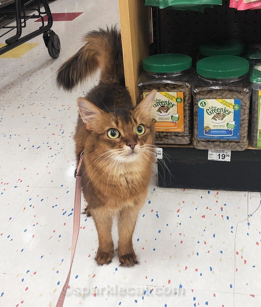 somali cat standing by pet treats at pet store