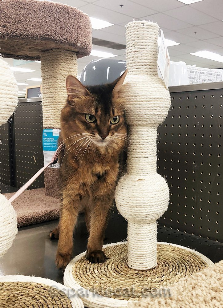somali cat rubbing on scratcher at pet store
