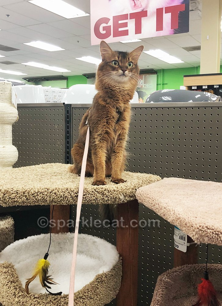 somali cat standing on top of cat tree at pet store
