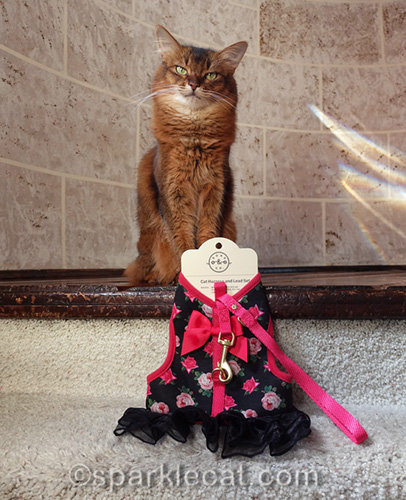 somali cat with pretty new harness dress